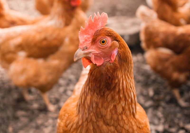 en coroko tenemos culto al pollo por eso nuestros pollos se crían sólo con alimentación vegetal y sin antibióticos y en granjas de bienesta animal13